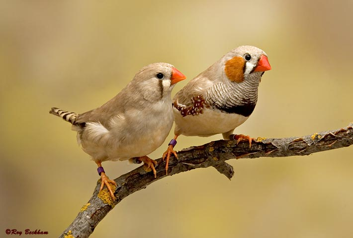 Fawn Zebra Finches. Male (right) and female (left)