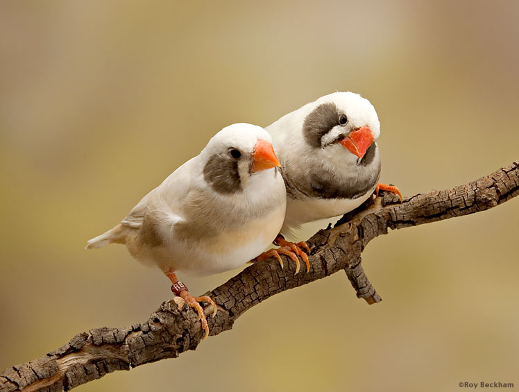 Gray Cheek/Fawn Cheek Zebra Finch