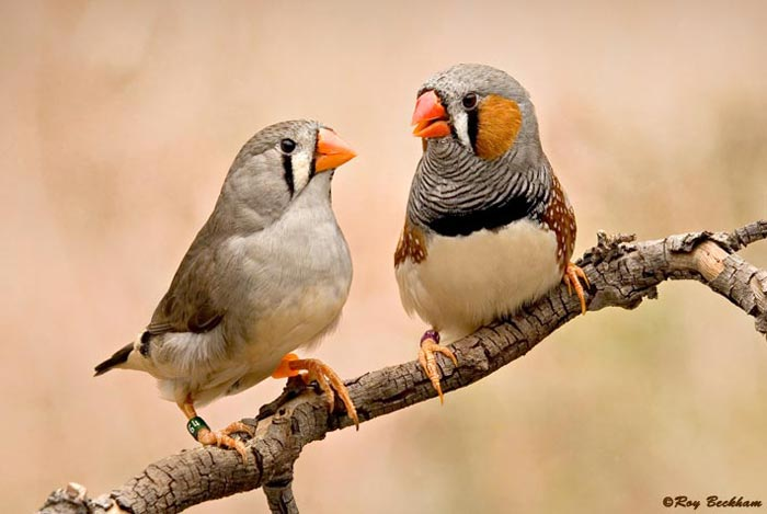 orange cheek finches
